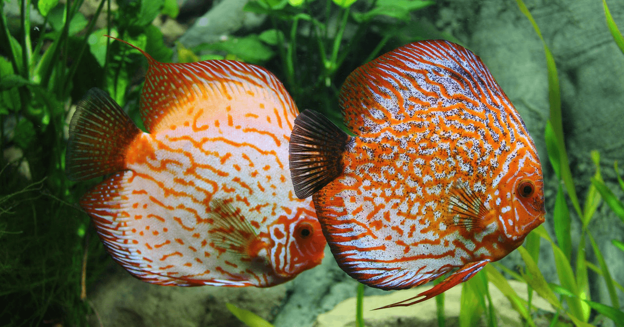 freshwater tropical fish